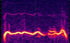 2018-05 Rondone 2018-05 n3 polyphonic call slowed down 8 times - Spectrogram.jpg